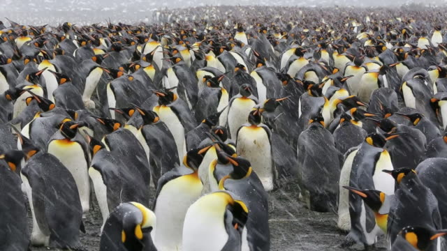 King Penguins at Gold Harbour, South Georgia, Southern Ocean.