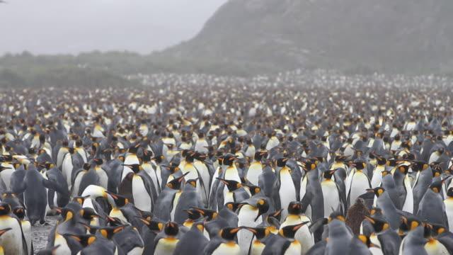 vídeos y material grabado en eventos de stock de king penguins at salisbury plain - pingüino cara blanca