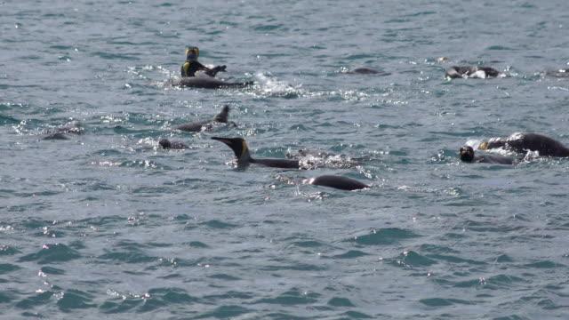 king penguins bathing, salisbury plain, south georgia island, southern ocean - south georgia island stock videos & royalty-free footage