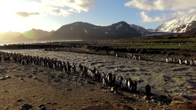 vídeos de stock, filmes e b-roll de king penguins by meltwater stream - baía de st andrews