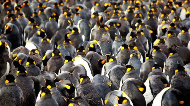 king penguins colon - colony group of animals stock videos & royalty-free footage