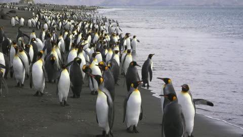 king penguins coming ashore, salisbury plain, south georgia island, southern ocean - colony stock videos & royalty-free footage