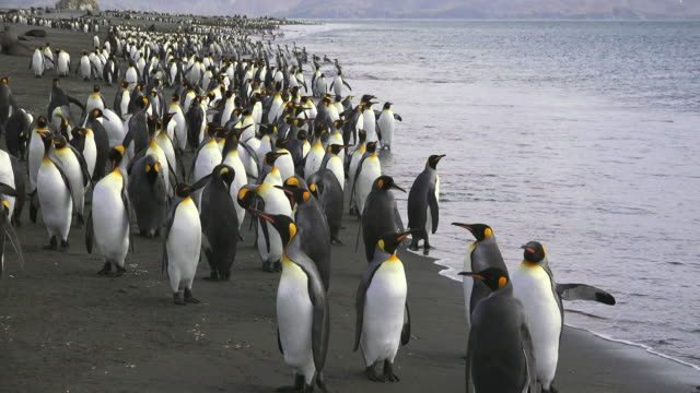 vídeos de stock e filmes b-roll de king penguins coming ashore, salisbury plain, south georgia island, southern ocean - colony