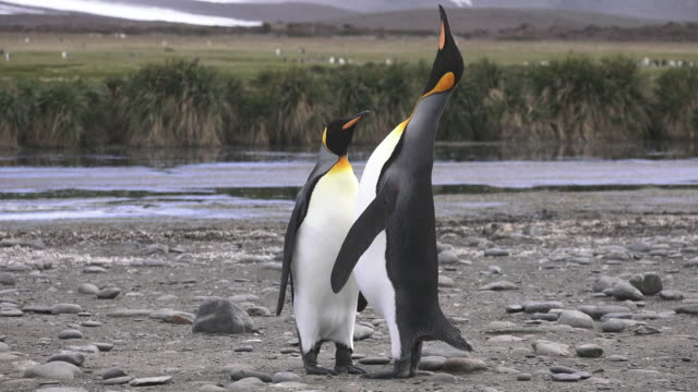 King Penguins courting, South Georgia Island, Southern Ocean