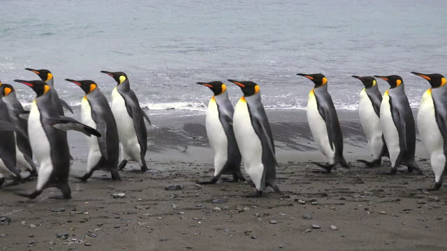 king penguins, fortuna bay, south georgia island, southern ocean - penguin stock videos & royalty-free footage