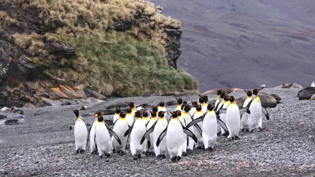 vídeos y material grabado en eventos de stock de king penguins, fortuna bay, south georgia island, southern ocean - pingüino cara blanca