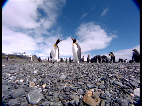 vídeos y material grabado en eventos de stock de king penguins gather on a rocky beach. - pingüino cara blanca