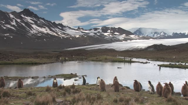 vidéos et rushes de ws, king penguins (aptenodytes patagonicus) gathering around pond, ice field and snowy mountains in background, south georgia island, falkland islands, british overseas territory - étang