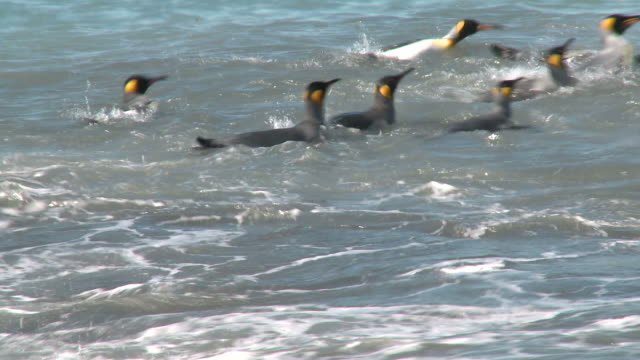 vídeos y material grabado en eventos de stock de king penguins (aptenodytes patagonicus) group in surf;some washing. gold harbour, south georgia - pingüino cara blanca