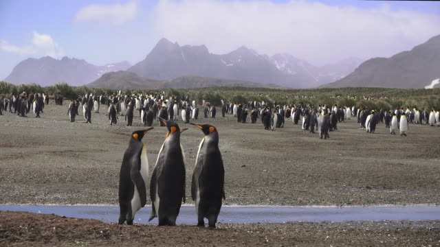 king penguins group of four stand by a stream, salisbury plane, south georgia island - insel south georgia island stock-videos und b-roll-filmmaterial