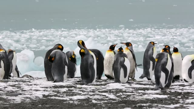 king penguins head out to sea on a fishing trip past ice at gold harbour, south georgia, southern ocean. - insel south georgia island stock-videos und b-roll-filmmaterial