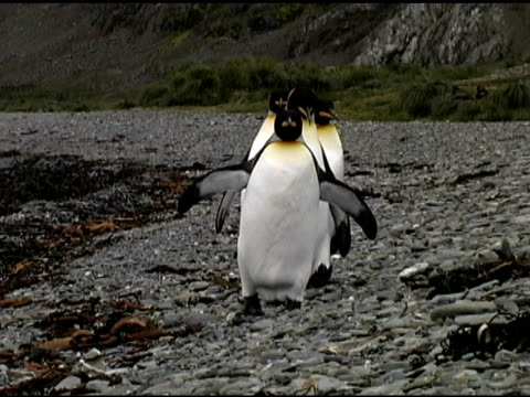 4 king penguins (aptenodytes patagonicus) in line. s georgia is. - isole dell'oceano atlantico video stock e b–roll