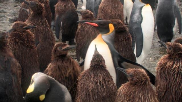 ms, pan, king penguins (aptenodytes patagonicus) in rain, south georgia island, falkland islands, british overseas territory - royal penguin stock videos & royalty-free footage