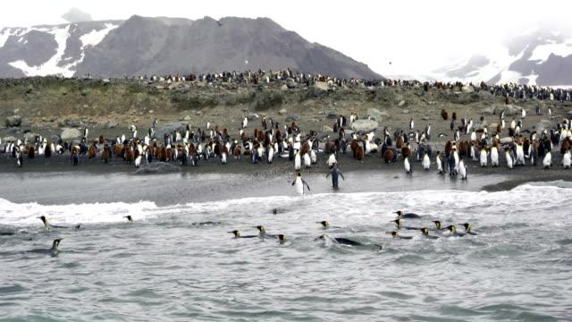 vidéos et rushes de penguins de géorgie du sud-chambre avec très grand lit - île de la géorgie du sud