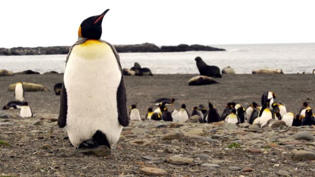 kung pingviner i sydgeorgien - sydgeorgien bildbanksvideor och videomaterial från bakom kulisserna