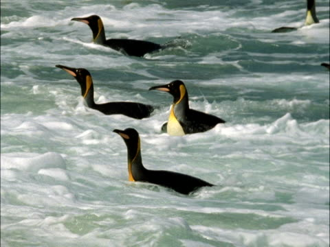 king penguins (aptenodytes patagonicus) in surf, marion island, south africa - 2006 stock videos & royalty-free footage