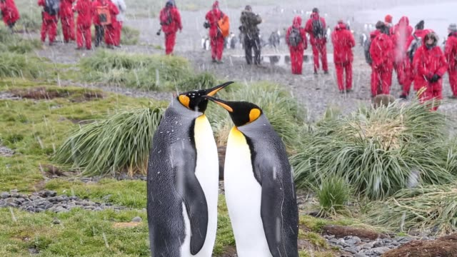 king penguins in the snow at jason harbour, south georgia, with passengers from an expedition cruise ship. - south georgia island stock videos & royalty-free footage