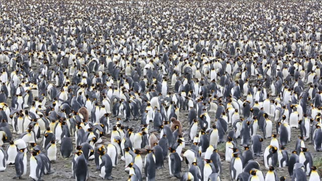king penguins in the world's second largest king penguin colony on salisbury plain, south georgia, southern ocean. - isole dell'oceano atlantico video stock e b–roll