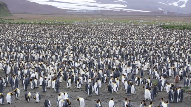 king penguins in the world's second largest king penguin colony on salisbury plain, south georgia, southern ocean. - antarctica stock videos & royalty-free footage