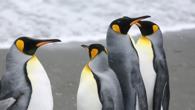 king penguins in the world's second largest king penguin colony on salisbury plain, south georgia, southern ocean. - atlantikinseln stock-videos und b-roll-filmmaterial