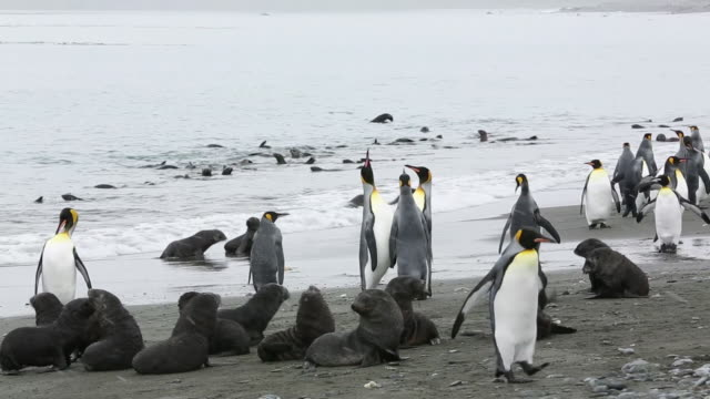 king penguins in the world's second largest king penguin colony on salisbury plain, south georgia, southern ocean with antarctic fur seal pups - south georgia island stock videos and b-roll footage