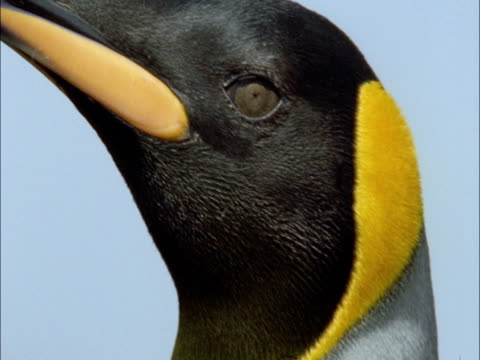 king penguins (aptenodytes patagonicus) looks around, marion island, south africa - becco video stock e b–roll