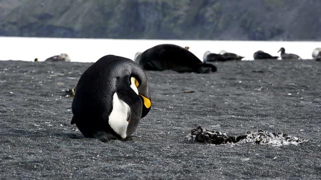 King Penguins Molting at Fortuna Bay