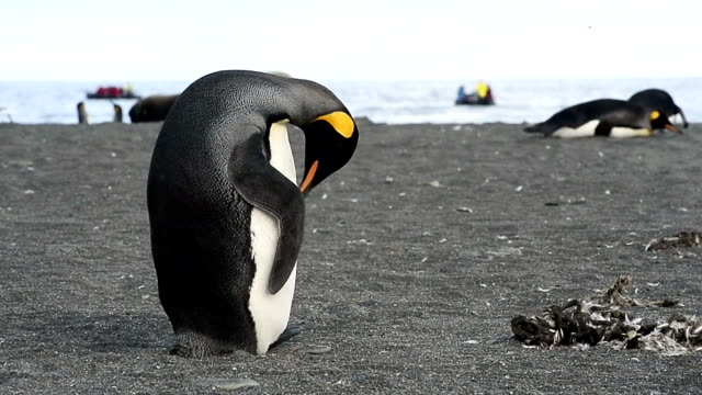 king penguins molting at fortuna bay - bay of water stock videos & royalty-free footage