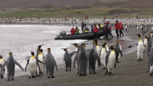 ws, king penguins on beach, group of people boarding into inflatable raft, south georgia island - antarctic ocean stock videos and b-roll footage