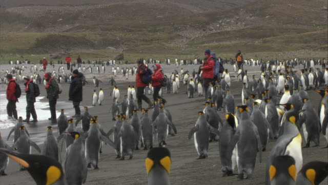 MS, PAN, King Penguins on beach, group of people boarding into inflatable raft, South Georgia Island