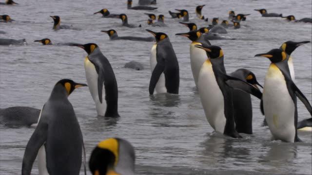 MS, PAN, King Penguins on beach, South Georgia Island