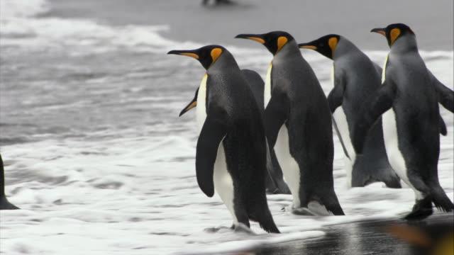 vídeos y material grabado en eventos de stock de ms, pan, king penguins on beach, south georgia island - pingüino cara blanca