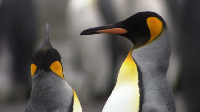 stockvideo's en b-roll-footage met cu, selective focus, king penguins on beach, south georgia island - dierenverzorging