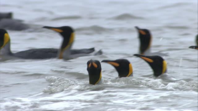 cu, pan, selective focus, king penguins on beach, south georgia island - south georgia island stock videos & royalty-free footage