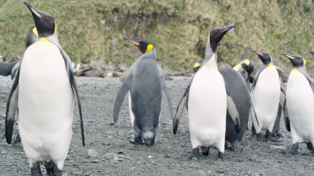 king penguins on beach, south georgia - insel south georgia island stock-videos und b-roll-filmmaterial