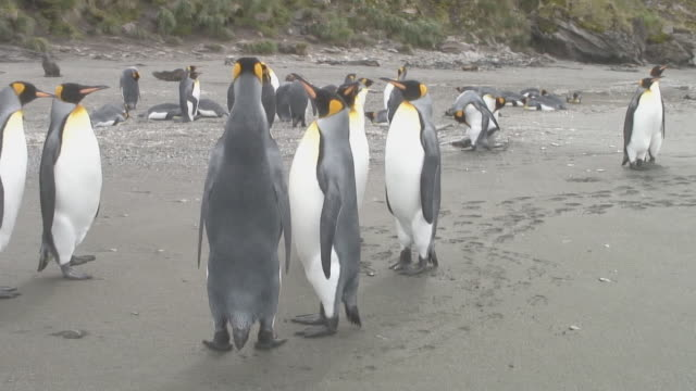 king penguins (aptenodytes patagonicus) on beach, st andrews, south georgia, antarctica - cute stock videos & royalty-free footage
