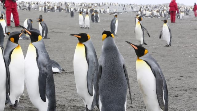 king penguins on salisbury plain, south georgia, with passengers from an expedition cruise. - cruise antarctica stock videos & royalty-free footage