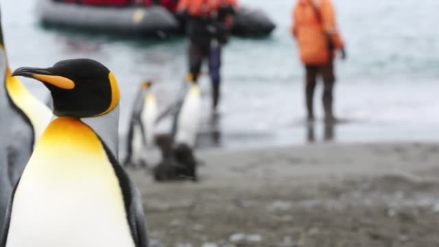 king penguins on salisbury plain, south georgia, with passengers from an expedition cruise. - south georgia island stock videos & royalty-free footage