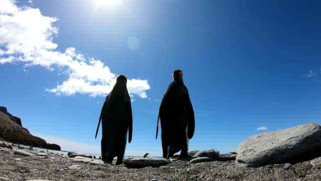 king penguins on salisbury plains - penguin stock videos & royalty-free footage