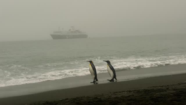 vídeos de stock e filmes b-roll de king penguins on salisbury plains - rei pessoa real