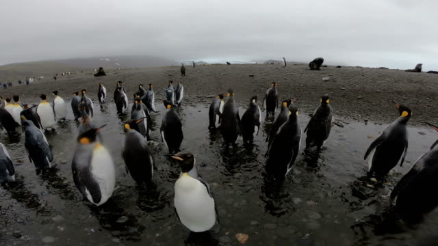 king penguins on salisbury plains - cruise antarctica stock videos & royalty-free footage