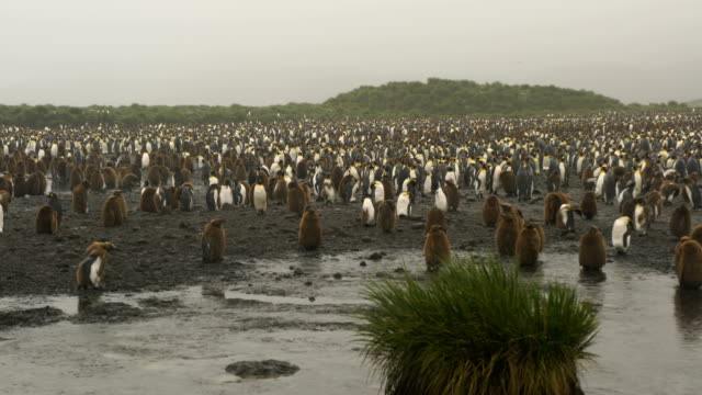 king penguins on salisbury plains - st. andrew's bay stock videos & royalty-free footage