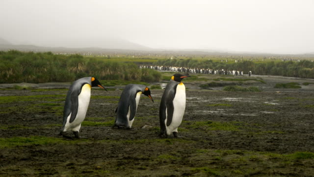 king penguins on salisbury plains - st andrews bay stock videos & royalty-free footage