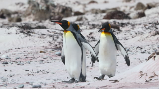 vidéos et rushes de king penguins on the beach - trois animaux