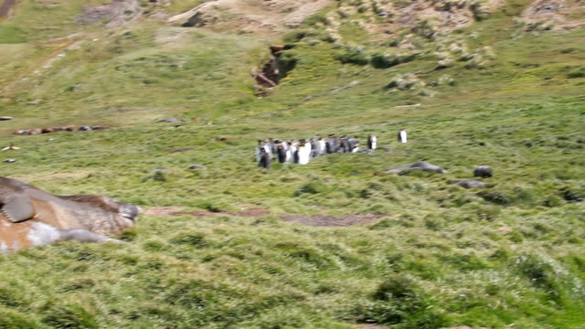 ws pan king penguins on the mountain to two southern elephant seals lying in the grass, grytviken, south georgia and the south sandwich islands - südlicher seeelefant stock-videos und b-roll-filmmaterial