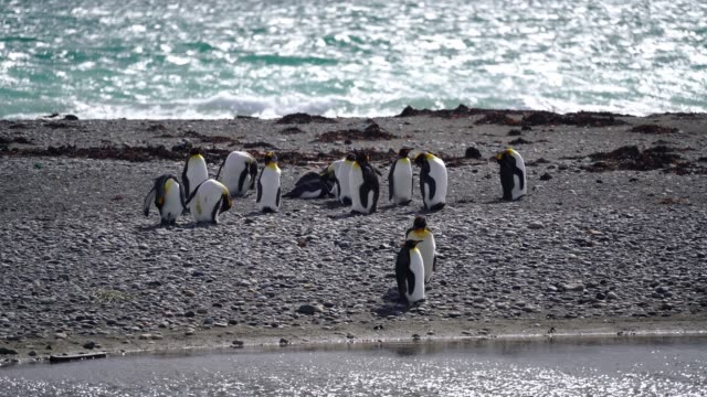 king penguins  on tierra del fuego - south pole stock videos & royalty-free footage