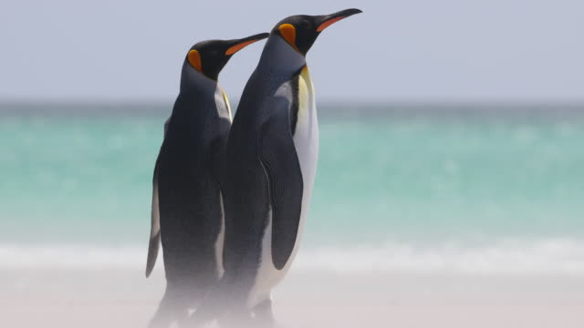 king penguins on windy, sandy beach - 2匹点の映像素材/bロール