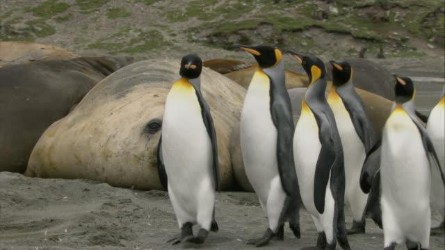 CU, King Penguins passing Elephant Seals lying on ground, South Georgia Island