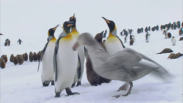 King Penguins protecting their chick from giant petrel