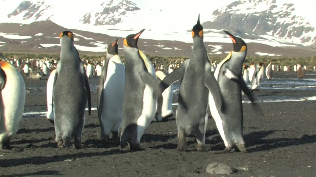 ms, king penguins (aptenodytes patagonicus) quarrelling, south georgia island, falkland islands, british overseas territory - medium group of animals stock videos & royalty-free footage